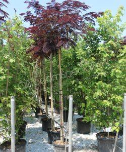 "Albizia julibrissin ""Summer Chocolate"""