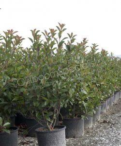 "Photinia fraseri ""Red Robin"" is een winterhard boom met wintergroen bladen"
