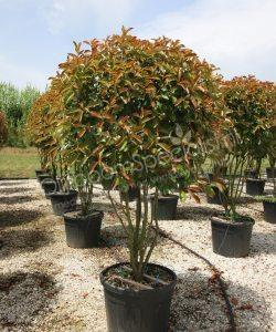 "Photinia fraseri ""Red Robin"" is een winterhard boom"